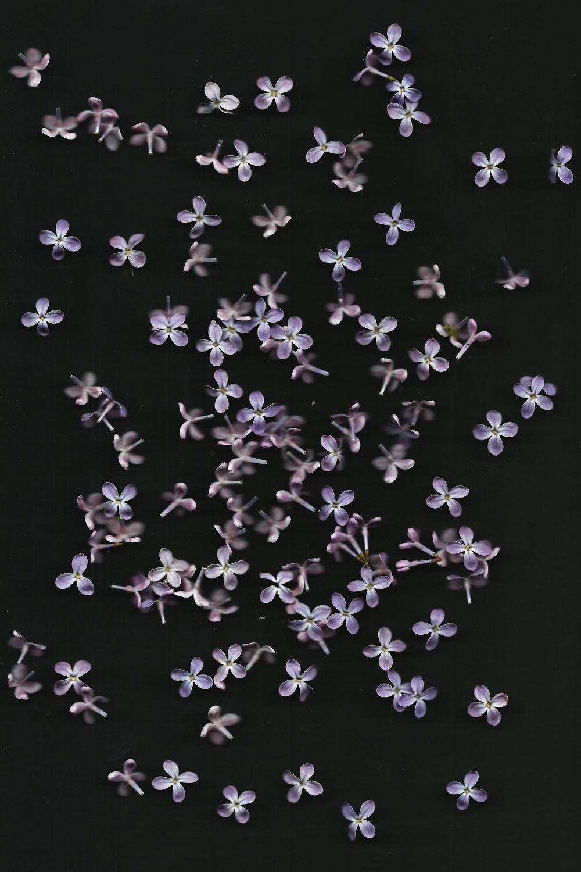 Flowers_Flieder_Blueten_1